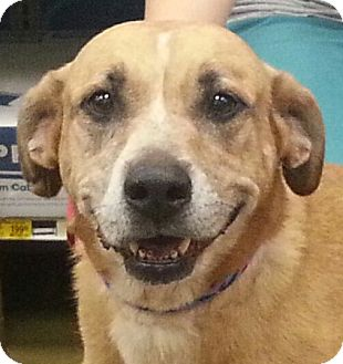 Labrador Retriever Mix Dog for adoption in Orlando, Florida - Candy