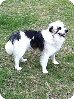 Australian Shepherd/Border Collie Mix Dog for adoption in Hazard, Kentucky - Oz