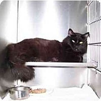 Adopt A Pet :: Lancelot - Syracuse, NY