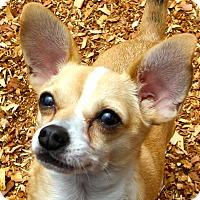 Adopt A Pet :: Ringo - Knoxville, TN