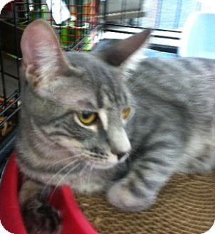 American Shorthair Cat for adoption in La Canada Flintridge, California - Kasey