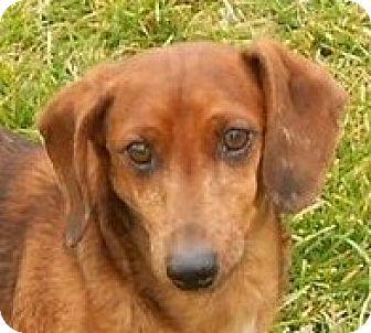Dachshund Dog for adoption in Mtn Grove, Missouri - Lance