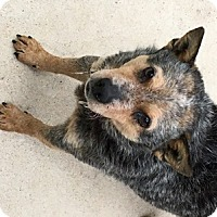 Australian Cattle Dog Dog for adoption in Remus, Michigan - Blue Panda is Pending