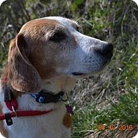 Adopt A Pet :: Ringo - Bakersville, NC