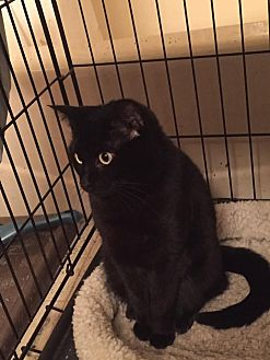 Domestic Shorthair Cat for adoption in Virginia Beach, Virginia - Bella