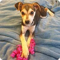 Adopt A Pet :: Mocha II - Dallas, TX