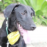 Flat-Coated Retriever/Basenji Mix Dog for adoption in Vancouver, British Columbia - Skipper