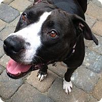 Adopt A Pet :: Mercedes - Arlington, VA