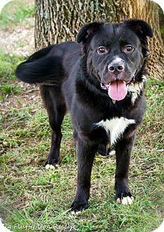 Border Collie/Labrador Retriever Mix Dog for adoption in Enfield, Connecticut - Maverick