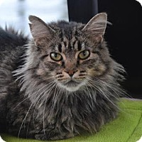 Domestic Longhair Cat for adoption in Akron, Ohio - Katie Kat