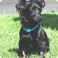 Terrier (Unknown Type, Small)/Papillon Mix Puppy for adoption in West Los Angeles, California - Habika