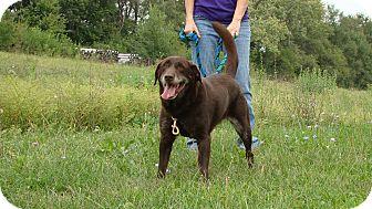 Labrador Retriever Mix Dog for adoption in Cameron, Missouri - Butch
