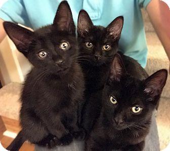 Domestic Shorthair Kitten for adoption in Atlanta, Georgia - Pearlette