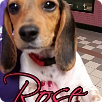 Adopt A Pet :: Rose - Owensboro, KY