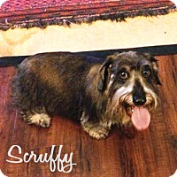 Adopt A Pet :: Scruffy - San Antonio, TX