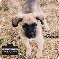 Shepherd (Unknown Type) Mix Puppy for adoption in Leander, Texas - Odessa