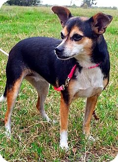 Chihuahua/Jack Russell Terrier Mix Dog for adoption in Huntington, New York - Daisy - N