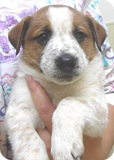 Australian Cattle Dog Mix Puppy for adoption in Waupaca, Wisconsin - Matteo