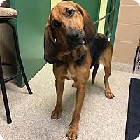 Adopt A Pet :: Annie (Bloodhound) - Dunmore, WV