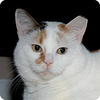 Domestic Shorthair Cat for adoption in Fairfax, Virginia - Taffy