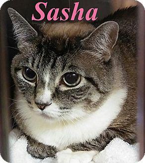 Domestic Shorthair Cat for adoption in El Cajon, California - Sasha