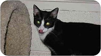 Domestic Shorthair Cat for adoption in Scottsdale, Arizona - Timothy