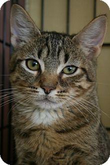 Domestic Shorthair Kitten for adoption in Frederick, Maryland - Jane