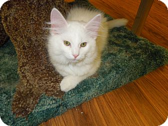 Domestic Mediumhair Kitten for adoption in Medina, Ohio - Pawnee