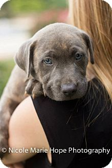 American Staffordshire Terrier/Pit Bull Terrier Mix Puppy for adoption in Durham, North Carolina - Big Hoss