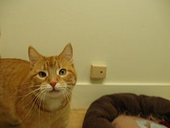 Domestic Shorthair Cat for adoption in Milwaukee, Wisconsin - Wynona