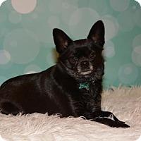 Adopt A Pet :: Olive - Abilene, TX
