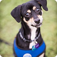 Adopt A Pet :: Han Solo - Austin, TX