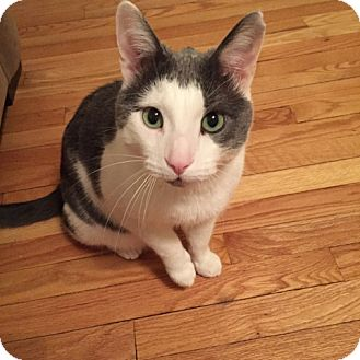 Domestic Shorthair Cat for adoption in Chicago, Illinois - Ratner