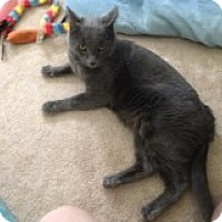 Domestic Shorthair Cat for adoption in Delmont, Pennsylvania - Dusty