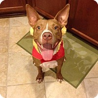 Staffordshire Bull Terrier Mix Dog for adoption in Georgetow, Texas - Milo