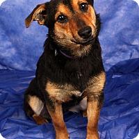 Adopt A Pet :: Delilah Wirehair Terrier Dash - St. Louis, MO