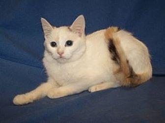 Siamese Cat for adoption in Colorado Springs, Colorado - Leilani
