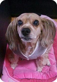 Cocker Spaniel Dog for adoption in Fairfax, Virginia - Caro