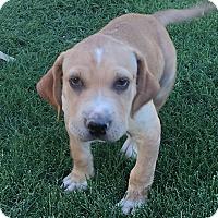 Adopt A Pet :: Olaf - Thousand Oaks, CA