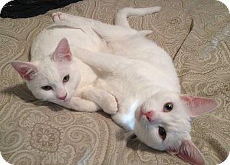 Domestic Shorthair Cat for adoption in Washington Crossing, Pennsylvania - Sugar
