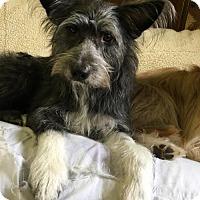 Adopt A Pet :: 'SCRUFFY' - Agoura Hills, CA