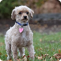 Adopt A Pet :: ANGUS - Ile-Perrot, QC