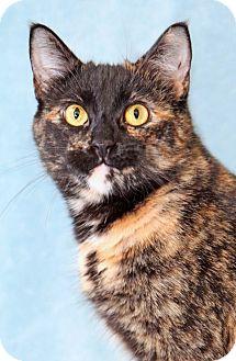 Domestic Shorthair Cat for adoption in Encinitas, California - Red Velvet