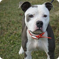 Staffordshire Bull Terrier/American Staffordshire Terrier Mix Dog for adoption in Kinston, North Carolina - Sara
