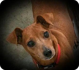 Miniature Pinscher Mix Dog for adoption in Paducah, Kentucky - Rocky