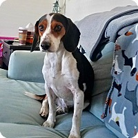 Beagle Mix Dog for adoption in Lima, Pennsylvania - Turkey