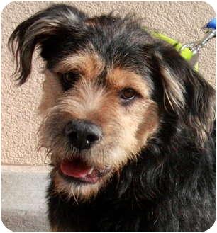 Emmett | Adopted Dog | Atlanta, GA | Airedale Terrier ...