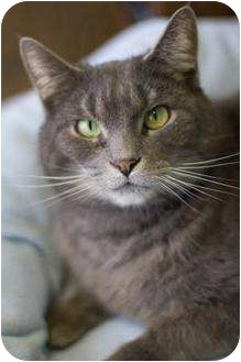 Domestic Shorthair Cat for adoption in Grayslake, Illinois - Paddy Cake, aka Shadow