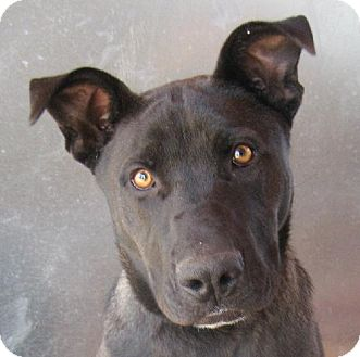 Labrador Retriever/American Pit Bull Terrier Mix Dog for adoption in Las Cruces, New Mexico - Draco