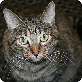 Domestic Shorthair Cat for adoption in Edmonton, Alberta - Coco